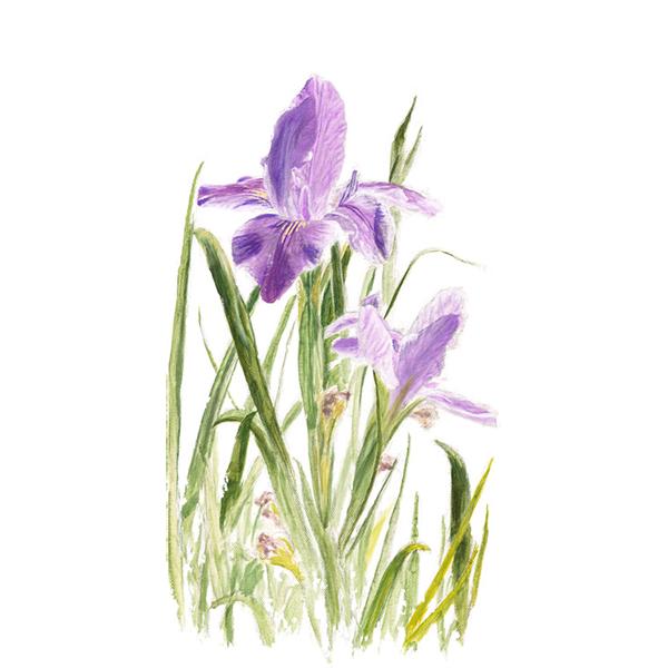 St. Augustine Iris